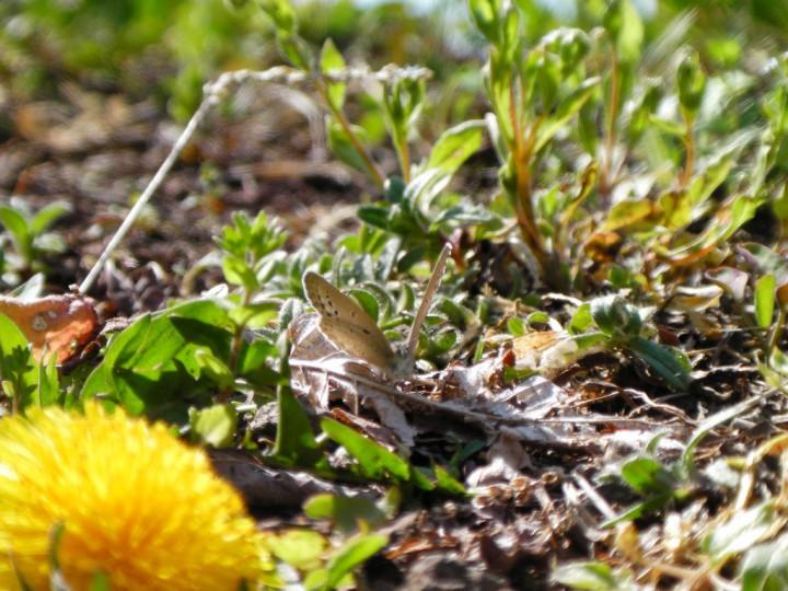 春のシジミチョウ